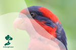 Nuri Talaud: Burung Khas Sulawesi yang Terancam Punah