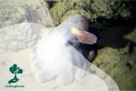 Gurita Dumbo, Penghuni Laut Bawah yang Bersirip