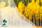 Pohon Aspen, Makhluk Hidup Terbesar di Dunia