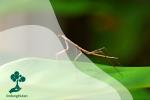 Belalang Ranting, Serangga Terpanjang dari Hutan Kalimantan