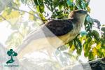Mengenal Rajawali Papua, Salah Satu Predator Terbesar di Dunia