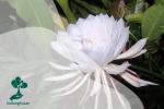 Bunga Kadupul: Bunga Termahal Sedunia