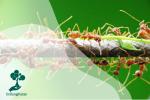 Semut Rangrang, Si Ahli Menganyam