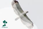 Elang Flores, Burung Endemik yang Terancam Punah