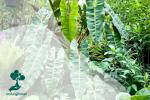 Philodendron Billietiae, Tanaman Jarang Berdaun