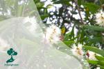 Mengenal Pohon Kayu Putih, si Tangguh Penyuka Api