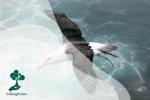 Albatros: Burung dengan Sayap Terpanjang di Dunia Hewan