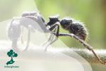 Semut Peluru, Si Penyengat Hebat Penghuni Hutan
