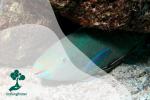 Ikan Kakatua, Penjaga Ekosistem Laut yang Kerap Dikonsumsi