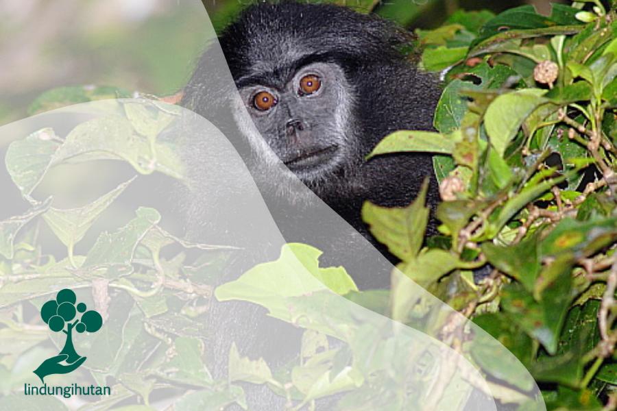 Simakobu, Primata Endemik Mentawai Berekor Babi