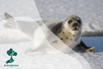 Anjing Laut Harpa, Satwa Kutub yang Menggemaskan