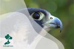 Alap-alap Kawah, Burung Pemangsa Tercepat di Dunia