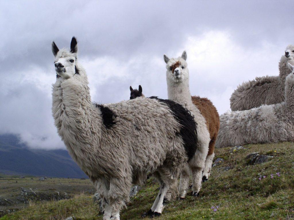 Gambar 3. Llamas © Zebulon72