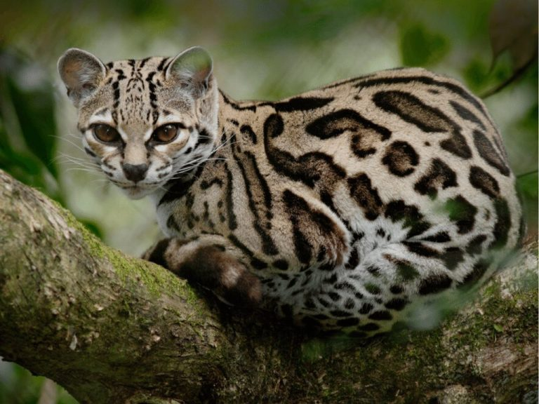 Margay - © critterfacts.com