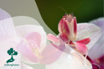 Orchid Mantis, Belalang Cantik bak Bunga Anggrek