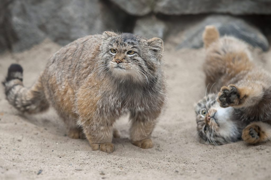 Pallas Cat - © cottagelife.com