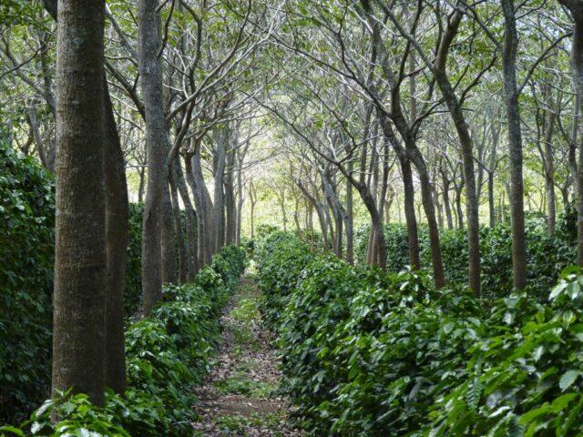 Gambar 2. Pemanfaatan Lahan Hutan untuk Perkebunan