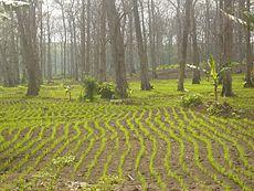 Gambar 1. Pemanfaatan Lahan Hutan untuk Pertanian, Agroforestry