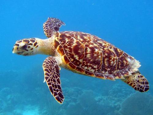 Gambar 2. Eretmochelys imbricata © TurtleTalk