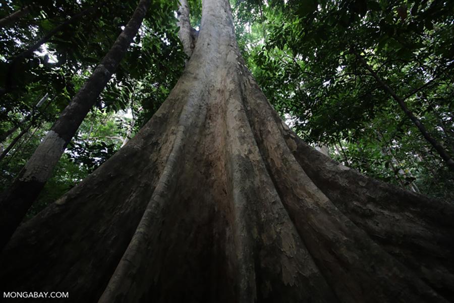 Pohon – Wanaswara