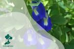 Bunga Telang, Tanaman Hias yang Menyehatkan