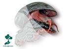 Mengenal Scaly-foot Gastropod, Siput Bercangkang Besi