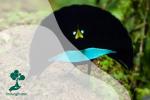 Mengenal Cendrawasih Papua: Si Cantik Berkerah Biru