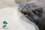 10 Jenis Kucing Liar Kecil yang Menakjubkan