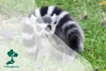 Mengenal Satwa Lemur Berekor Cincin