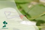 Scorpion Fly, si Lalat Mirip Kalajengking!