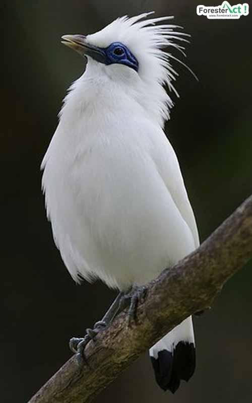 Burung Jalak Bali © Forester Act