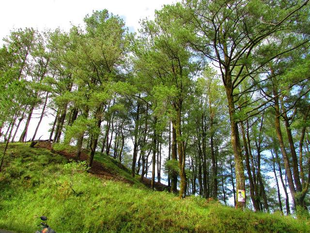 Gambar 3 Tegakan Pinus