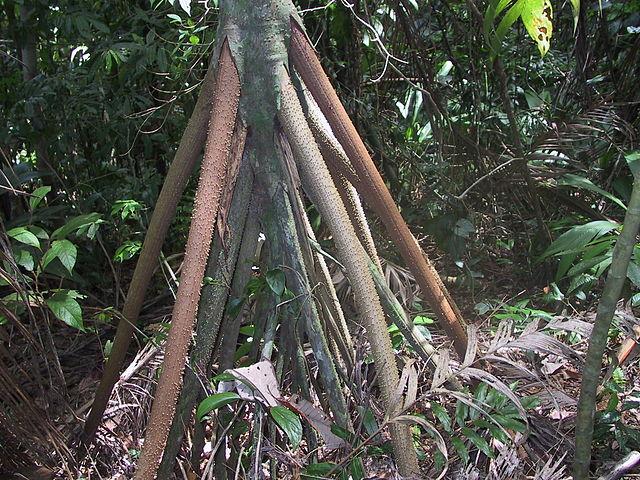 Gambar 1. Socratea exorrhiza © Ruestz