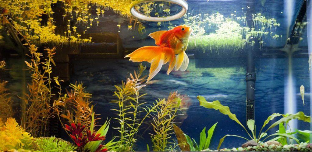 Gambar 3. Wolffia dan Ikan Hias