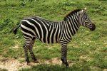Hewan Zebra, Si Belang Hitam-Putih Afrika