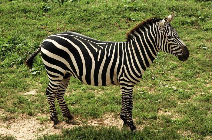 Zebra © Bobo.id