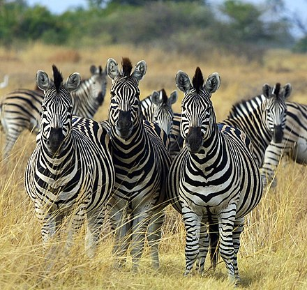 Kawanan Zebra © wikiwand.com
