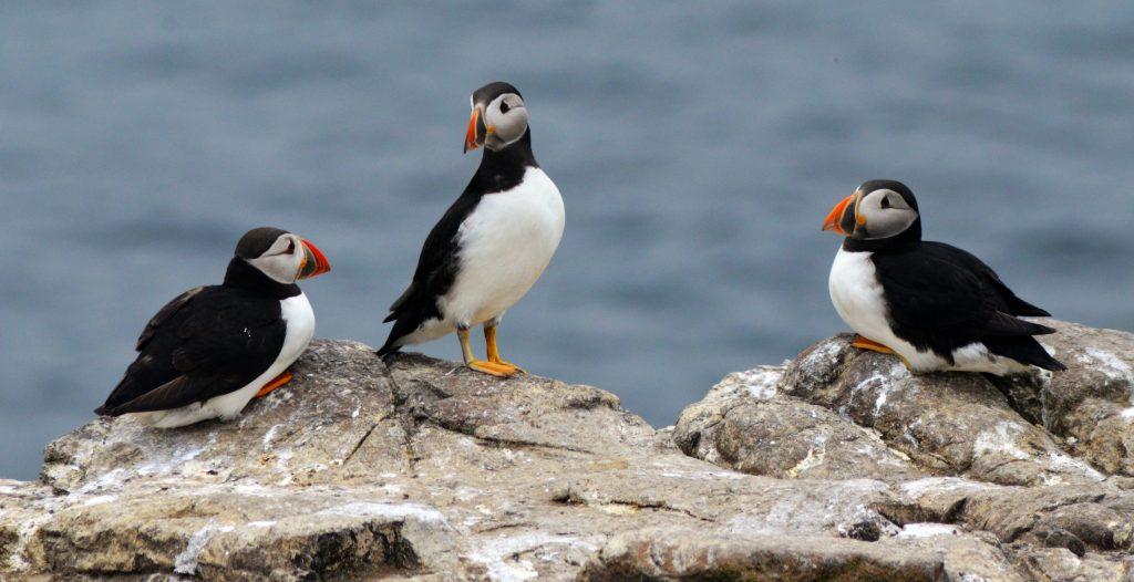 Burung Puffin Atlantik / unsplash