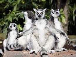 Kawanan lemur berekor cincin © Beritagar.id