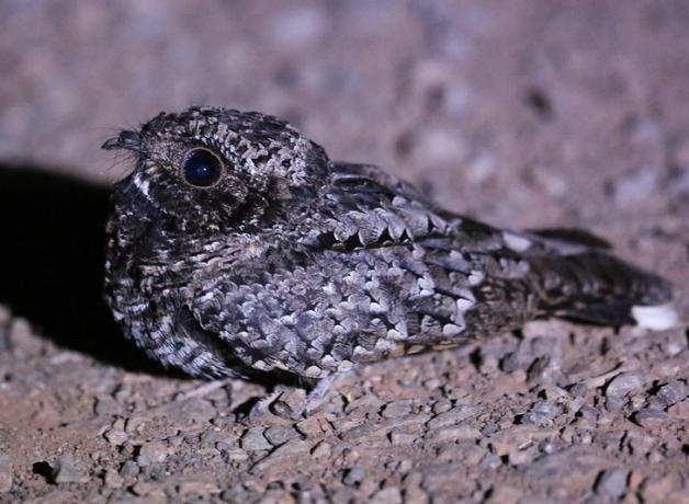 Common poorwill - © birdnote.org