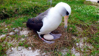 (gambar 4 albatros bertelur)