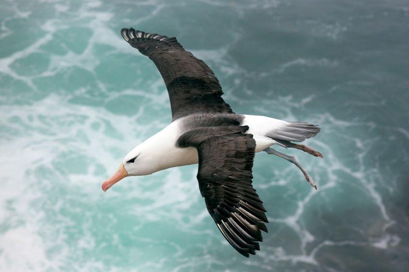 (gambar 1 albatros terbang)