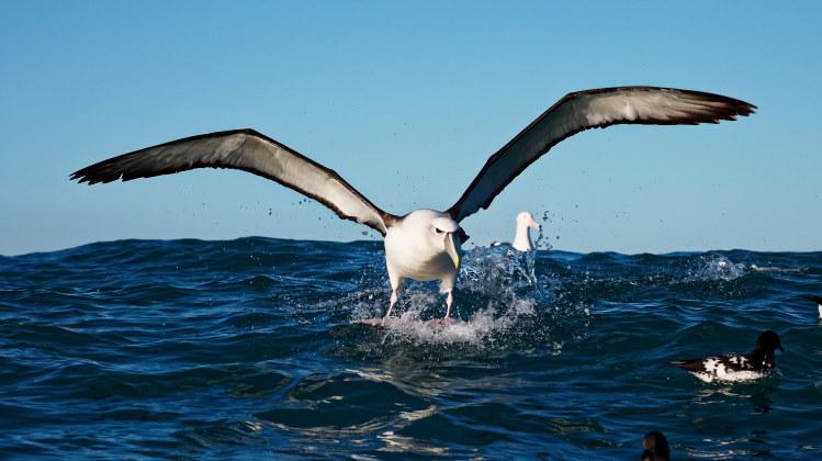 (gambar 3 albatros)