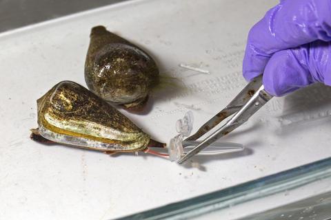 Hewan paling beracun: Cone Snail