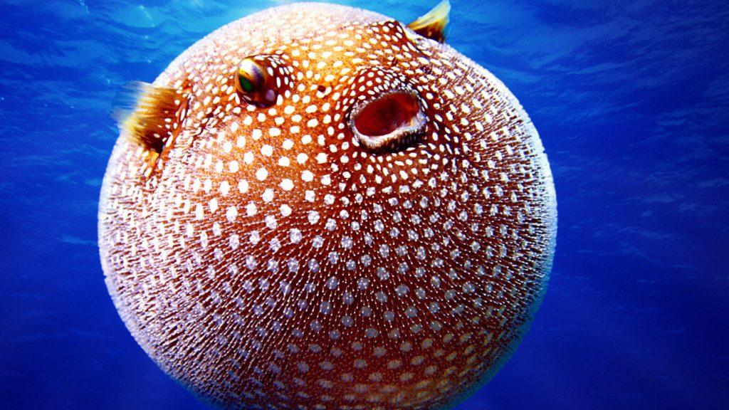 Hewan paling beracun: Puffer Fish