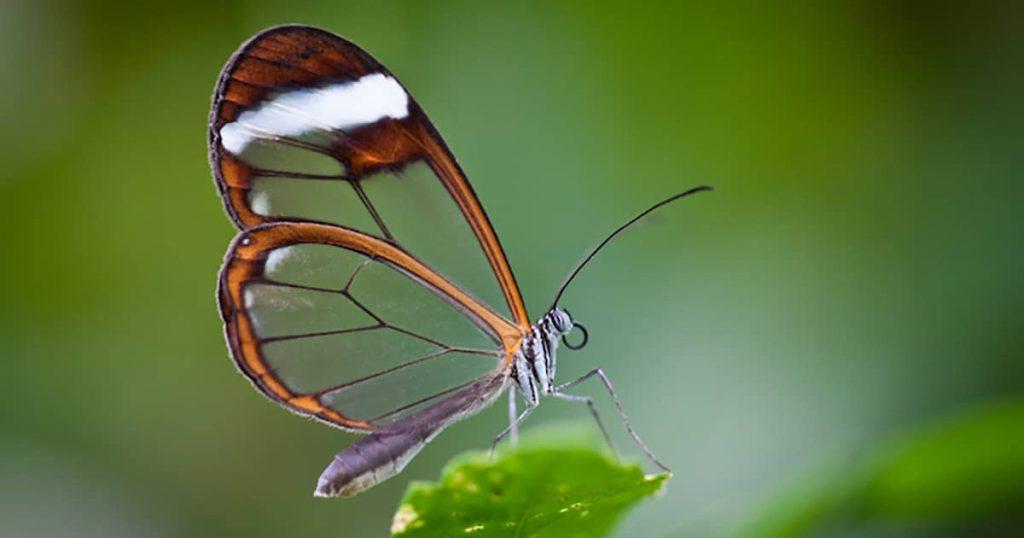 Gambar Kupu-kupu Sayap Kaca