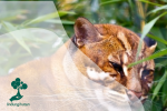 Kucing Merah, Satwa Liar Endemik Kalimantan