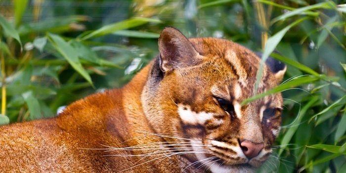 Kucing Merah © Sayanghewan.net