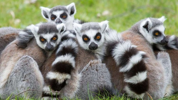 Lemur berekor cincin © Jogja.tribunnews.com