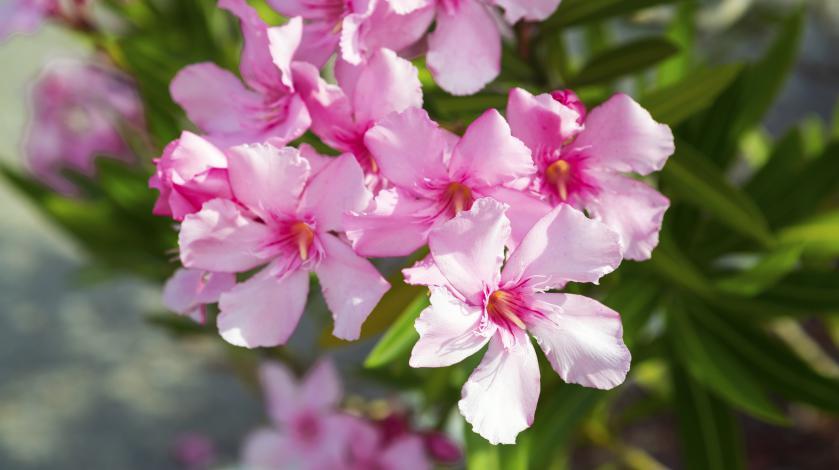 Gambar 3. Oleander